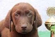 Labrador Welpe schoko