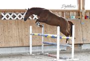 Pferd zur Verfügung Sportpferd