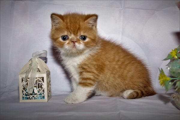 Exotic Shorthair Kitten ( » Katzen