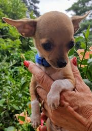 Chihuahua 2 Buben