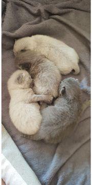 Reinrassige neugeborene Kitten