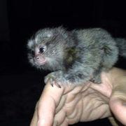 Affe Tiermarkt Tiere Kaufen Quokade