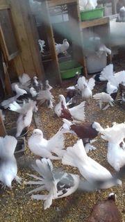 32 Junge Pfau Tauben Bunte