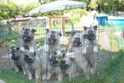 Wolfsspitz Welpen Wurfankündigung (