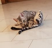 Bengal Kater silver rosetted
