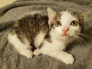 Katzenbabys 8 Wochen
