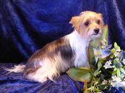 Liebenswerte Biewer Yorkshire Terrier Hündin