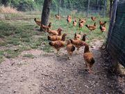 Zwerg Hühner Zwerg