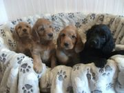 Cocker Spaniel Mischlings