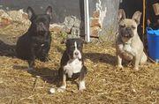 Mehrere Bulldogge suchen ein Zuhause