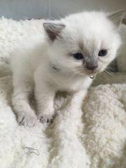 Katzenbabys Kitten BKH /