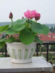 Lotusblumen Samen 5stk.