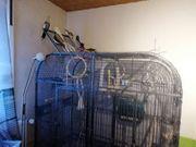 Schöne Papageien Großsittich Voliere mit