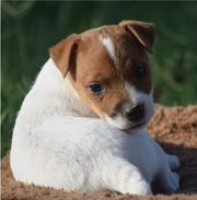2 Jack Russell