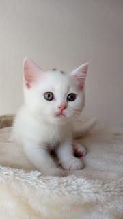 2 weisse BKH Kätzchen ab