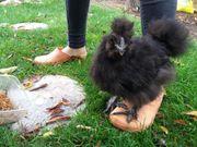Zutraulicher Zwergseidenhühner Hahn