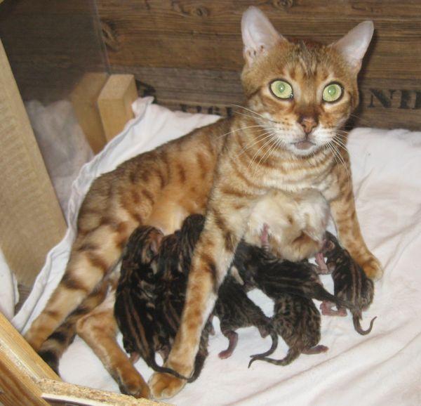 """REINRASSIGE BENGAL KITTEN mit Stammbaum - Mosbach - BengalkatzeKatzenbabyWir sind eine kleine, seriöse Hobbyzucht aus der Nähe von Mosbach und haben 5 kleine """"Stuben-Leoparden"""" (4 Buben, 1 Mädel), die Mitte April in ein neues zu Hause umziehen können.Bei Abgabe sind die Kleinen mehrfach entwu - Mosbach"""