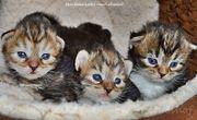 Sibirische Katzenkinder