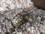 Niedliche griechische Landschildkröten Nachzucht Sept