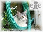 Mainecoon Deckkater Champion black-silver-cl tabby-white