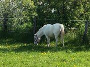 Reit- oder Pflegebeteiligung an Ponystute