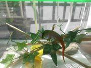 Madagaskar-Taggecko-Jungtiere