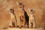 Abessinier Katze aus