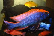 Aulonocara/Sciaenochromis-Purplered-