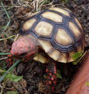 Köhlerschildkröten, Chelonoidis carbonaria (