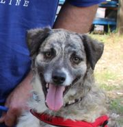 Benji, Australian Shepherd