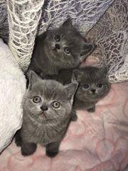 3 Süße BKH Kätzchen zu