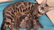 Bengal Kitten aus Traumverpaarung