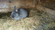 Hase Kaninchen Zwerghase