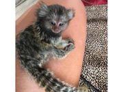 Pygmy Marmoset Affen