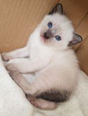 Siam Thai Kitten
