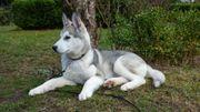 4 Monate junger Siberian Husky