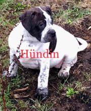 Bulldog Hybrid Welpen
