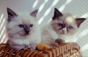 Ragdoll Kitten Katzen Katze Kater