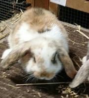 Zwergwidder Kaninchen jung männlich