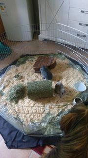 Zwergwidder kaninchen mit