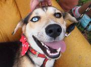 LOTTA, Husky Mischling -