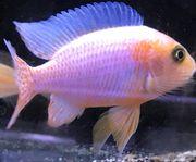 Aulonocara sp red