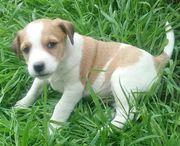 Parson Russel Terrier