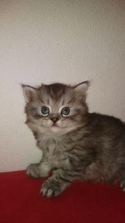 Kleine perse katze