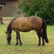 9-jähriger Pony-Wallach sucht neues Zuhause