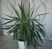 Yucca-Palme zu verschenken