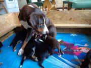 Appenzeller-Sennenhund-Welpen