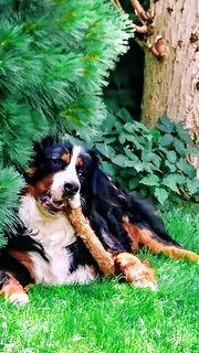 Berner Sennenhund Rüde