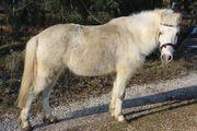 Süßes Schimmel-Pony