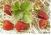 Strohunterlage für Erdbeeren (